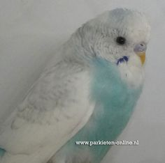 www.parkieten-online.nl parakeets, budgies, grasparkiet, parkieten