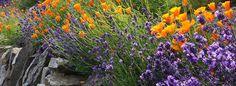 poppy lavendar garden
