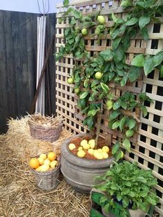 Privacy screen used as trellis for lemon espalier