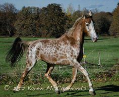 Wing's Sable Sky, the American Saddlebred mare with unique coloration! Most Beautiful Horses, All The Pretty Horses, Animals Beautiful, Rare Horses, Wild Horses, Horse Photos, Horse Pictures, Zebras, Rare Horse Colors