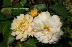 Rosa 'Buff Beauty' Sterk geurende, gevulde, herhaaldelijk bloeiende struikroos Ook al zo een beproefde roos. Verdraagt schaduw. De hoogte na 10 jaar is 1,5 m. De bloemkleur is warm oranje-geel. De bloeiperiode is juni - september. Deze plant is goed winterhard