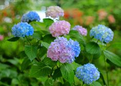 Colorful Hydrangeas - photo by Cole Chase Photography