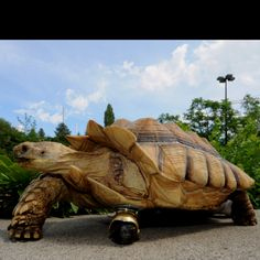 Doctors have replaced this tortoise's amputated leg with a caster wheel.  Gamera, a 12-year-old African spur-thighed tortoise, was relinquished by its owner because it had a life threatening injury, which required vets to amputate. The caster, purchased at a local Ace Hardware store for about $7, was adhered to the tortoise's shell with some epoxy and the animal is reportedly doing quite well. It's already gained three pounds.