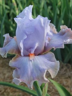 TB Iris 'Legerdemain' (Keppel, 2008)