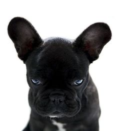 A black French bulldog is what Nicky wants. Hmm!!
