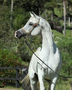 Princess Touch W (Yllan El Jamaal x Donna Touch LV) 2009 mare © Tupa