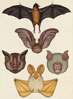Animalium - Bats