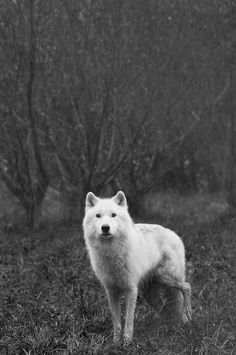 Arctic Wolf (by courtneyoflaherty)