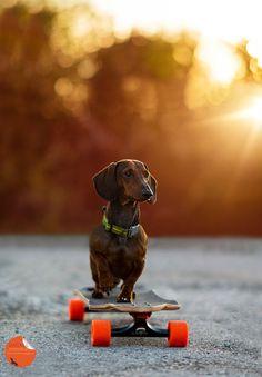 Skate boarding Dachshund