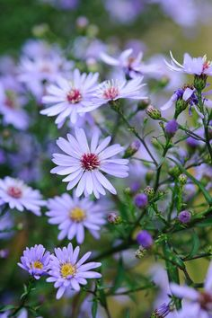 'Little Carlow', Blue Aster~Image via Toby Buckland Nurseries. https://www.tobybuckland.com/bare-root/aster-little-carlow#