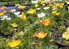 Mák alpínský - Papaver alpinum | Zahradnictví FLOS Colourful Garden, Wonderland, Pumpkin, Outdoor, Color, Outdoors, Pumpkins, Colour, Outdoor Games