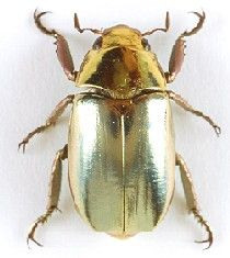 Jeweled Scarab beetle  Its wings are actually really pretty. - - Did somebody put him/her in a galvanising bath? I never want to be a Euchroma gigantea Elytra....
