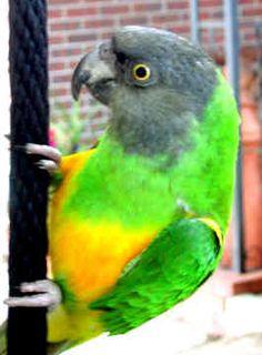 Senegal Parrot:  Like our Henry