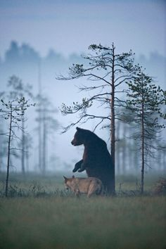 """Lassi Rautiainen """"It's very unusual to see a bear and a wolf getting on like this,"""" he said. For ten days straight, a female grey wolf and male brown bear would meet every night and spend hours together. Nature Animals, Animals And Pets, Cute Animals, Wild Animals, Animal Kingdom, Beautiful Creatures, Animals Beautiful, Photo Animaliere, Mundo Animal"""