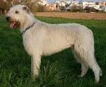 IRISH WOLF HOUND 9 FULL SIZE
