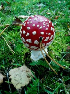 This Amanita mushroom that is often seen in Fairytales, grows in the Finnish woods.