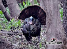 Run and Gun Turkey Hunting Tactics Bow Hunting Tips, Bow Hunting Deer, Quail Hunting, Hunting Gear, Hunting Dogs, Archery Hunting, Hunting Humor, Hunting Stuff, Coyote Hunting