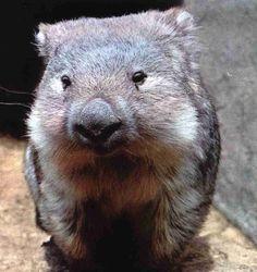 wombat :)