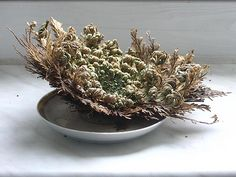 Rose of Jericho: Turns green as it is watered