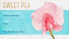 sweet-pea