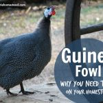 Guinea fowl Today I'm learning just as much as you are! I've often wondered about raising guinea fowl, but have not yet taken the leap. After reading this post by Charles of The Chicken Review blog, I'm ready to bring home some guinea keets from the feed store next spring. I think they'll make the perfect addition to our homestead–especially as snake repellent! Read on as Charles shares the scoop on why you need guineas on YOUR homestead—-> The ...