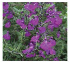 Salvia greggii 'Christine Yeo'   Lambley Nursery 60 x 60 dec through April