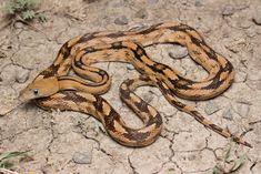 Trans-pecos Ratsnake - Different Ideas Amphibians, Reptiles, Lizards, Rat Snake, Beautiful Snakes, Fields, Salamanders, Website, Animals