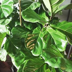 More greenery for the #TreeHouse! #fiddleleaffig #artistryhouse #comingsoon