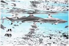 "Chris Leidy Photography: ""Big Fish"" - Black Lagoon #ChrisLeidy #photography #underwater #ocean #underthesea Website: http://www.leidyimages.com/"