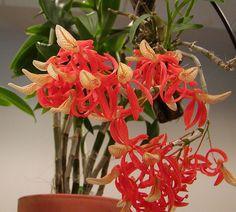 Dendrobium unicum | Flickr - Photo Sharing!