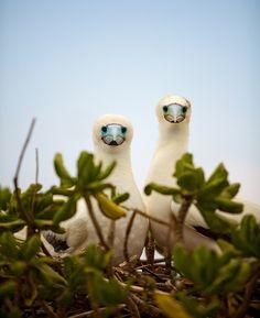 Albatrosses on Midway Island, Hawaii