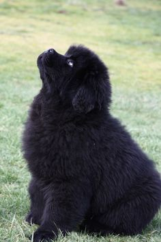Newfoundland pup..My fave!