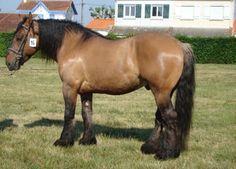 Draft horses belgian draft horses and english springer spaniels