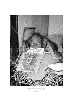 Baby orangutan Lucy checks out 'Ireland of the Welcomes' on her arrival at Dublin Zoo. January 1954 See more photos like this at www. Fine Art Photo, Photo Art, Dublin Zoo, Baby Orangutan, History Photos, Photo Archive, More Photos, Ireland, Irish