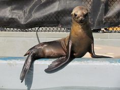 Angry California sea lion pup... is angry... (I love that face!)