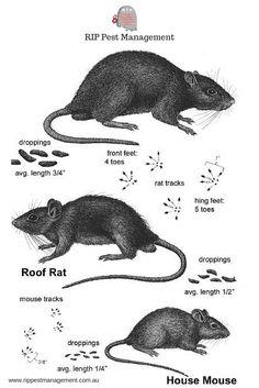 Rat infographics-R.I.P Pest Management