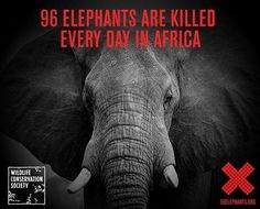 Ninety-six elephants are killed every day in Africa. Join the Wildlife Conservation Society to stop the killing, stop the trafficking, and stop the demand. Elephants Never Forget, Save The Elephants, What A Wonderful World, Wildlife Conservation Society, Ivory Trade, Trophy Hunting, Anatole France, Stop Animal Cruelty, Animals