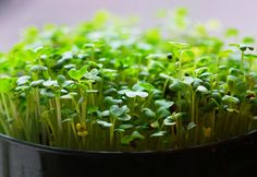 Growing Microgreens | Planet Natural