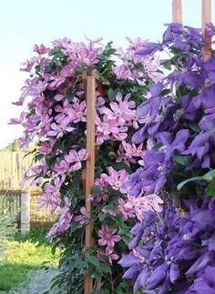 КЛЕМАТИСЫ ЛЮБЯТ....МОЛОКО! | OK.RU Small Farm, Bedroom Colors, Garden Landscaping, Garden Design, Make It Yourself, Landscape, Plants, Sodas, Front Yard Landscaping
