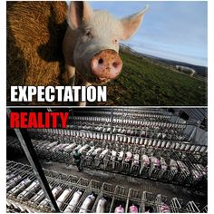 This is where your meat comes from.  Help stop factory farming now by only purchasing trusted field raised animals.  Pigs have the worst of it.  They can't even turn around in their stalls and become insane with their captivity. Eat less meat....it will make a difference