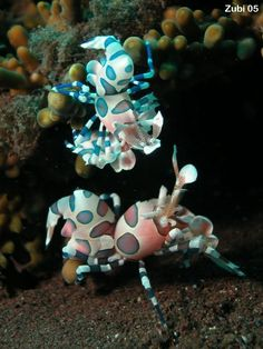 Harlequin Shrimp - Hymenocera elegans or Hymenocera picta - Harlekingarnele Beneath The Sea, Under The Sea, Beautiful Sea Creatures, Pretty Fish, Sea Dragon, Ocean Creatures, Bugs And Insects, Exotic Fish, Patterns In Nature
