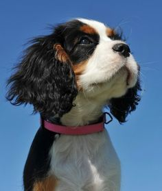 10 Cool Facts About Cavalier King Charles Spaniels - Dogs Tips & Advice | mom.me