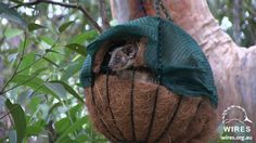 Making a drey for ringtail possums Australian Possum, Family Day Care, Easy Plants To Grow, Garden Inspiration, Garden Ideas, Animal House, Hanging Baskets, Animal Shelter, Habitats