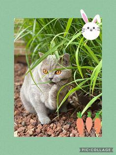 British shorthair Gato Grande, Cattery, British Shorthair, Alice In Wonderland, Planter Pots, Factory Farming, Gatos