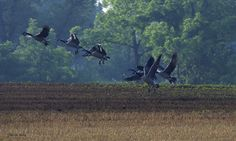 on the wing again ~ Canada Geese ~ Branta canadensis ~ Huron River Watershed, Michigan | by j van cise photos