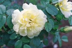 Discover 11 shade tolerant roses for your partially sunny flower garden.