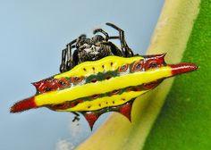Gasteracantha diadesmia spider