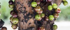 Most people wouldn't be able to recognize the Jaboticaba on sight. Most wouldn't even know what the word means. However, this unusual tree is much-beloved in the permaculture community for many reasons. The small space needed to grow the Jaboticaba, their ease of care, pest resilience and compact growth make them an easy pick for anyone trying to incorporate more edible, unusual and hardy plants into the start of their …