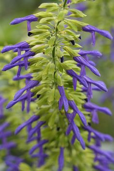 Salvia Mexicana - Colors: Chartreuse Green and Periwinkle Blue Unusual Flowers, Unusual Plants, Purple Flowers, Wild Flowers, Beautiful Flowers, Green And Purple, Periwinkle Blue, Dream Garden, Gardens