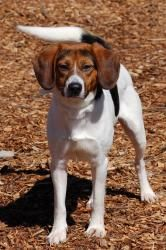 ADOPTED !!! #GEORGIA #U ~ Bandit ID 19036084 is a Neutered Beagle in #Toccoa.  Dogs & cats are kept for 5 days or as long as there is room. #Adoption fees include spay or neuter & a rabies vaccine.  TOCCOA-STEPHENS COUNTY HUMANE SHELTER  1747 Scenic Dr   #Toccoa GA 30577  bob.citrullo@gmail.com  Ph 706-282-3275